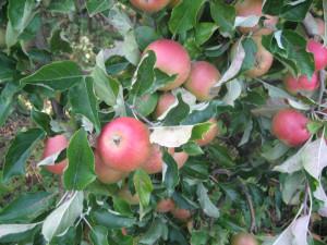 Ingrid Marie äpple.
