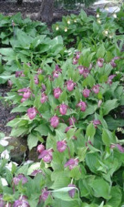 Cypriprdium kentucky pink