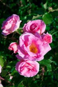 Rosa cornelis vreeswijk