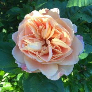Rosen Alkemist en ljuvlig klängros i en varm persikoliknande färg.