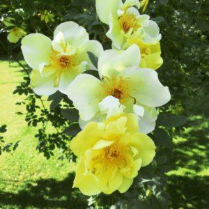 Rosen Aicha i full blom nu.