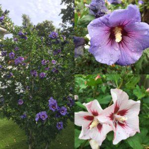 Trädgårdshibiscus för rabatten eller i kruka finns i olika färger.